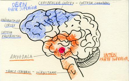 Gehirn und Wutanfall